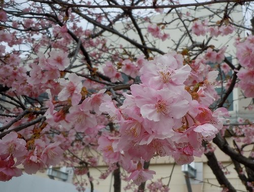 いち早く河津桜を見に_b0102572_23460835.jpg