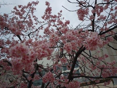 いち早く河津桜を見に_b0102572_23463749.jpg