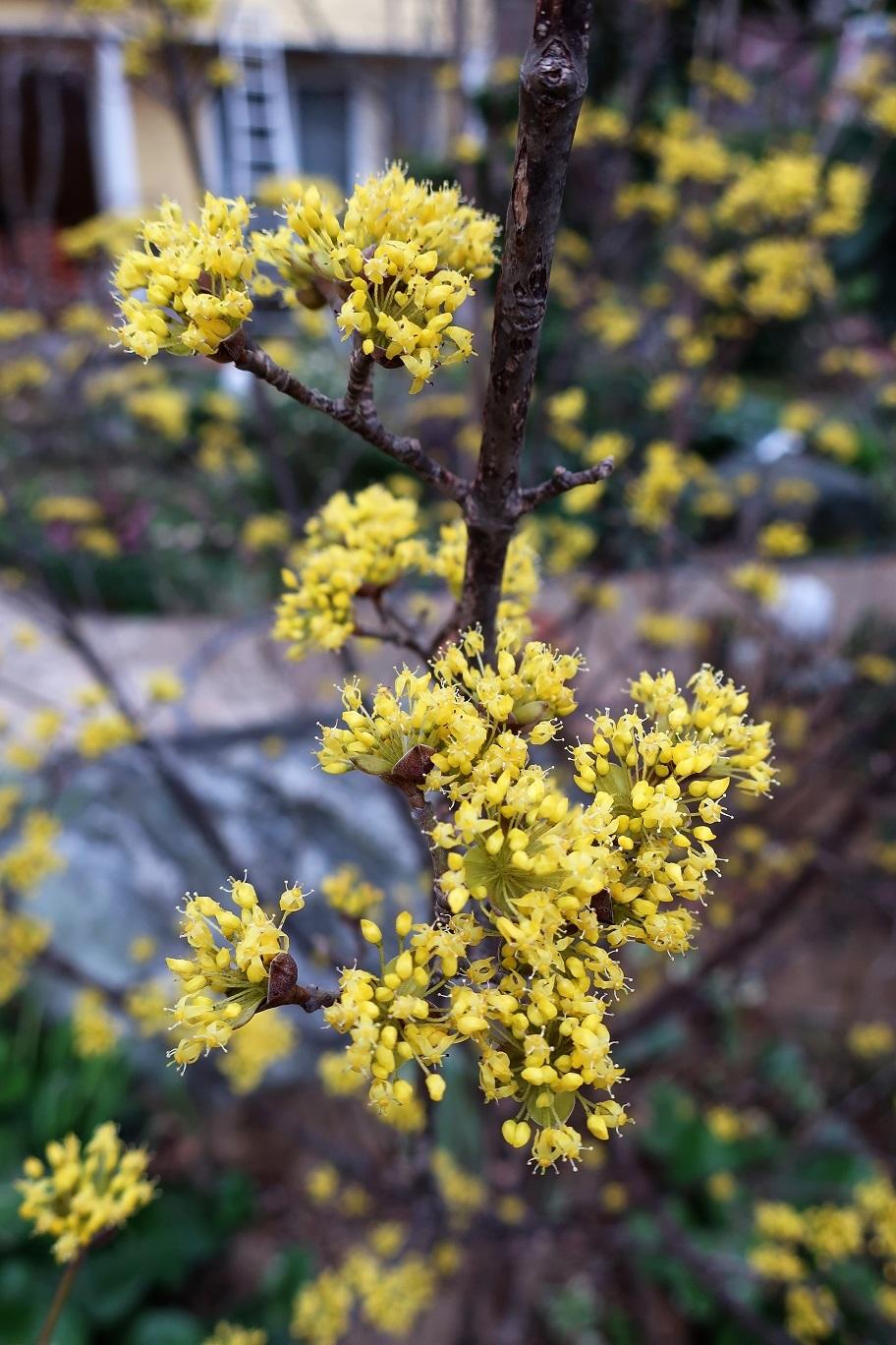 サンシュユの花が咲くころ_a0107574_19273121.jpg