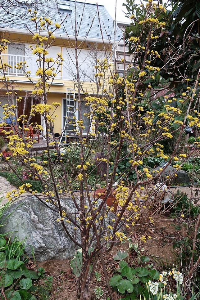 サンシュユの花が咲くころ_a0107574_19274311.jpg