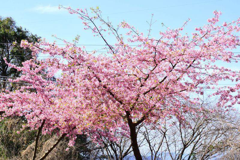 下松笠戸島の河津桜_d0061579_1145080.jpg