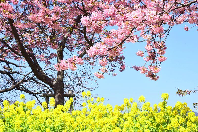 下松笠戸島の河津桜_d0061579_115539.jpg