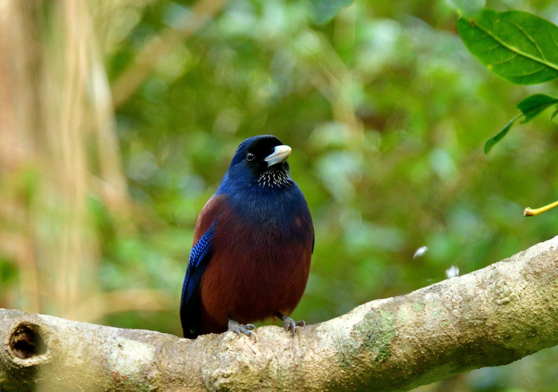 ルリカケス 奄美大島:与路島の野鳥 ③_e0362696_16013192.jpg