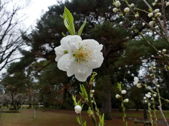 京都御苑も花がスタート_e0048413_20390440.jpg