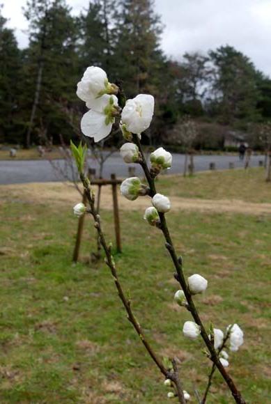 京都御苑も花がスタート_e0048413_20390854.jpg