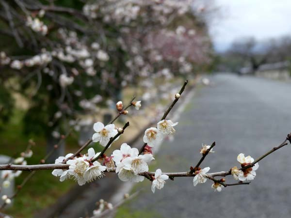 京都御苑も花がスタート_e0048413_20391998.jpg