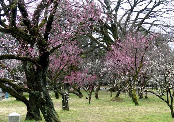 京都御苑も花がスタート_e0048413_20393218.jpg