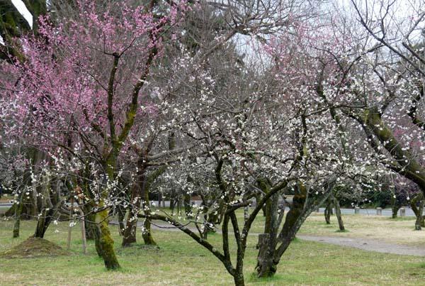 京都御苑も花がスタート_e0048413_20463654.jpg