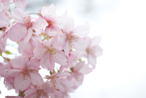 今年2度目の桜_a0329414_23195689.jpg