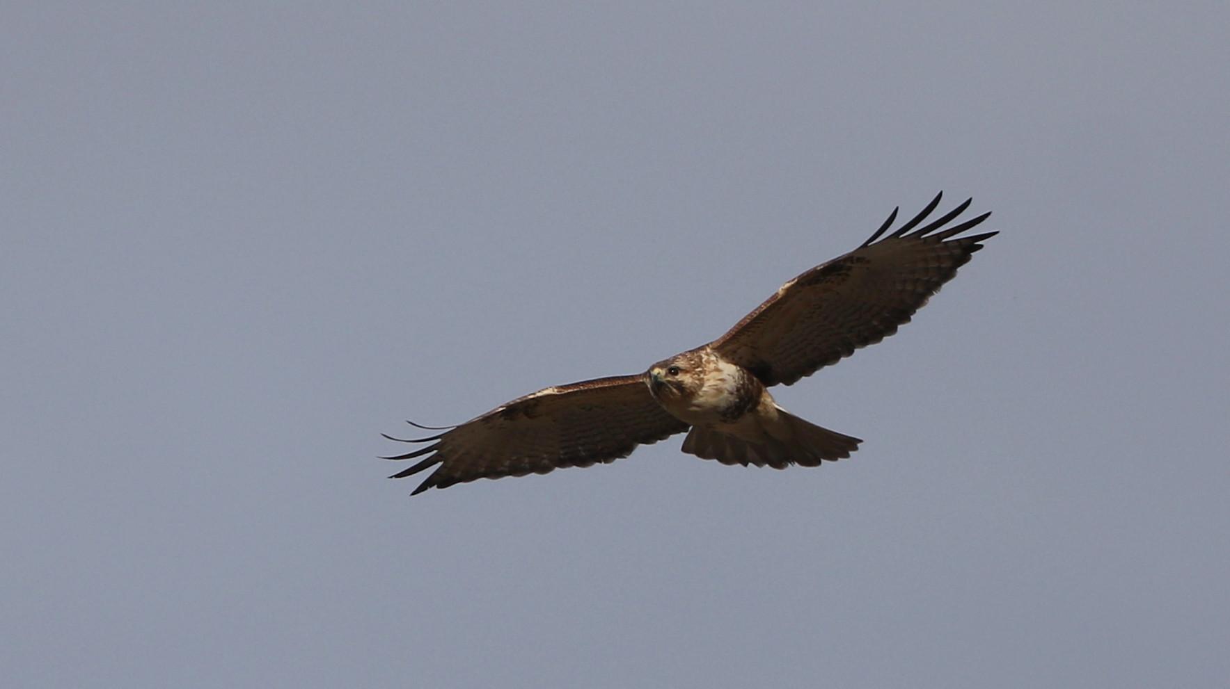 田園地帯のノスリの飛翔_f0239515_16113168.jpg