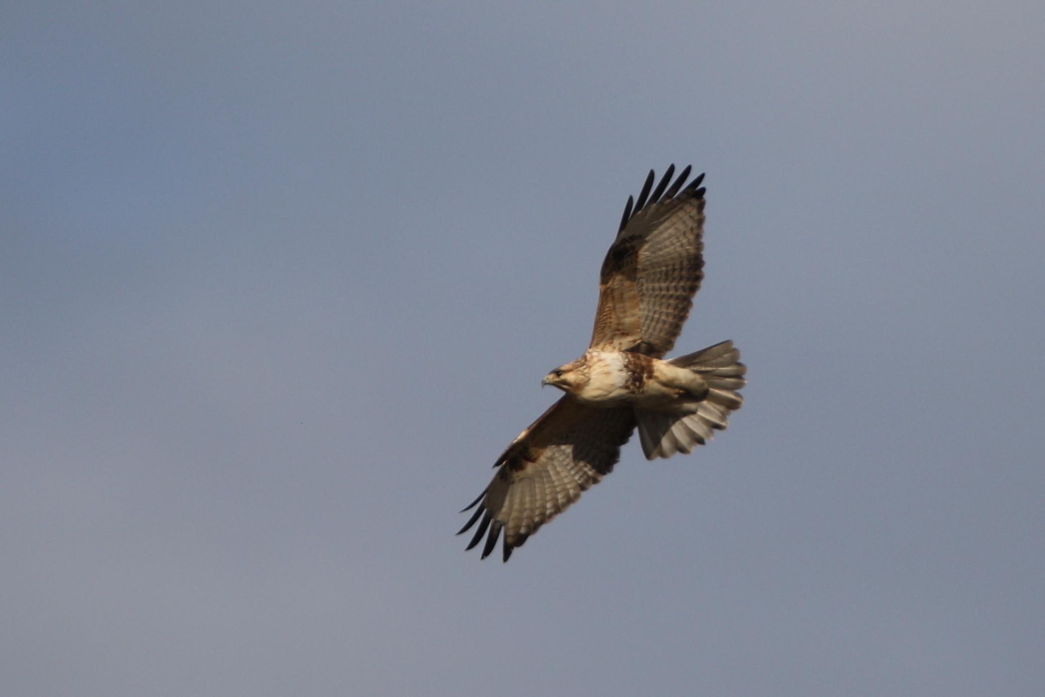 田園地帯のノスリの飛翔_f0239515_16115218.jpg