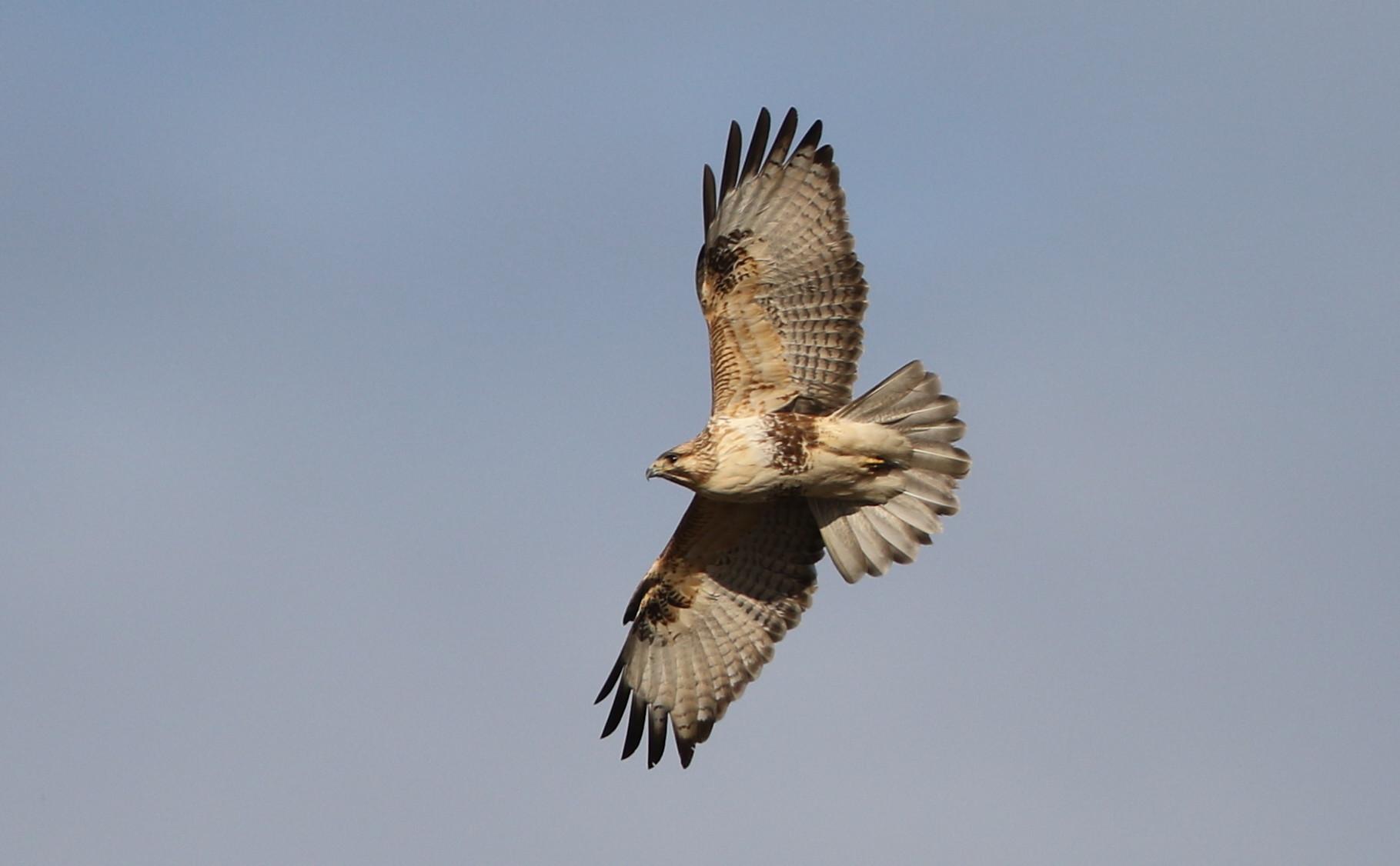 田園地帯のノスリの飛翔_f0239515_161178.jpg