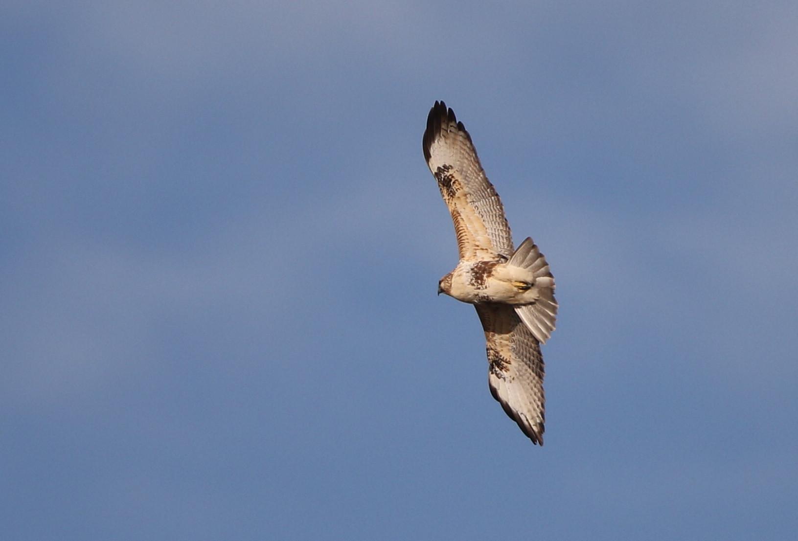 田園地帯のノスリの飛翔_f0239515_16122315.jpg
