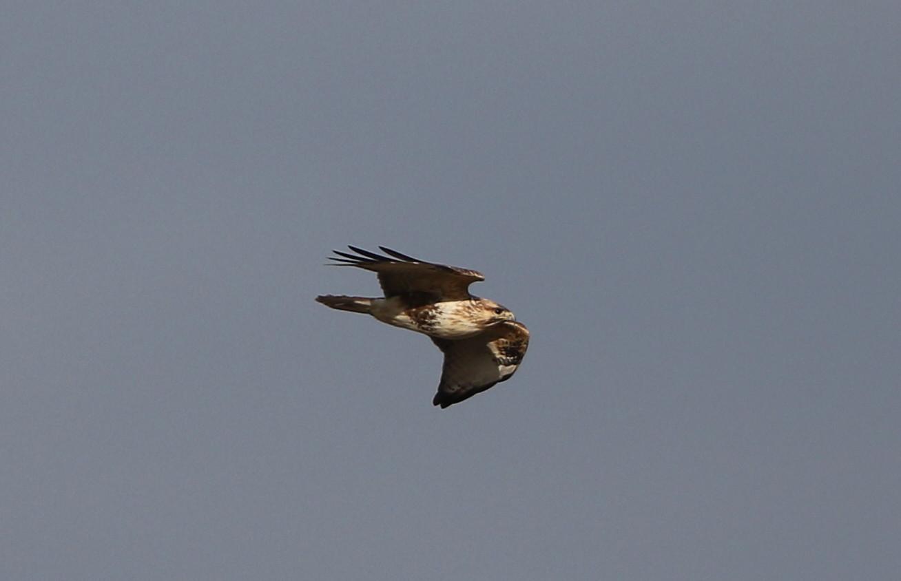田園地帯のノスリの飛翔_f0239515_16124397.jpg