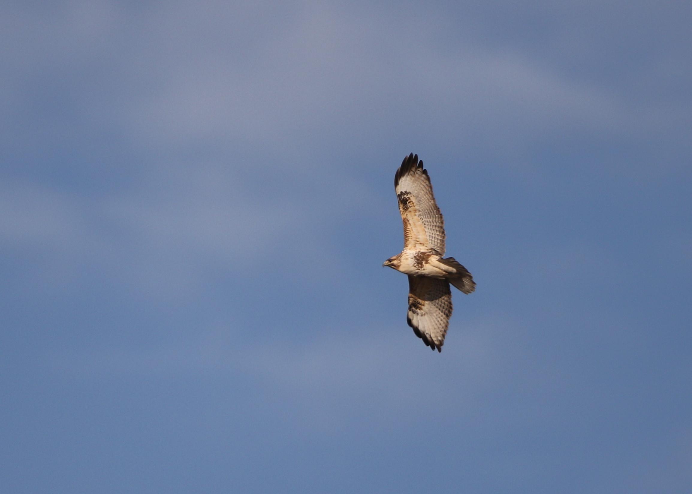 田園地帯のノスリの飛翔_f0239515_1612951.jpg