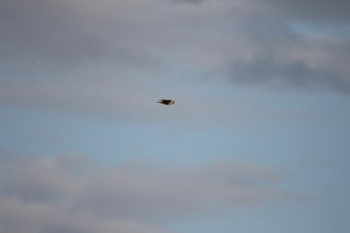 田園地帯のノスリの飛翔_f0239515_1613516.jpg