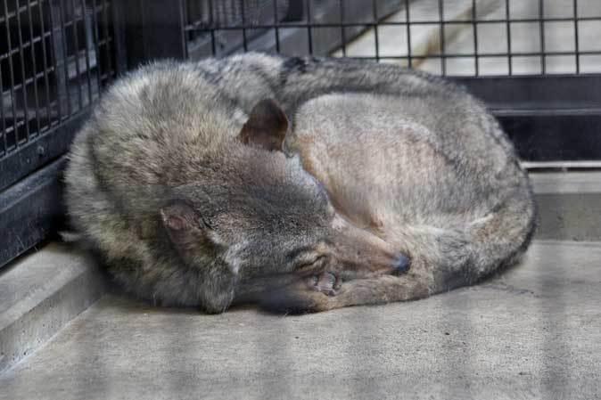 シフゾウ「アオバ」の袋角~バックヤードのオオカミたち(多摩動物公園 March 2019)_b0355317_22162069.jpg
