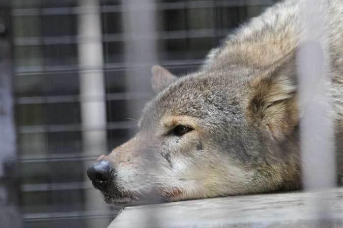シフゾウ「アオバ」の袋角~バックヤードのオオカミたち(多摩動物公園 March 2019)_b0355317_22201485.jpg