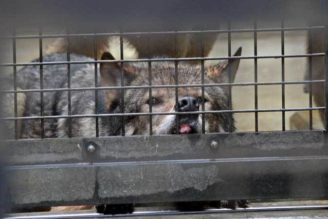 シフゾウ「アオバ」の袋角~バックヤードのオオカミたち(多摩動物公園 March 2019)_b0355317_22204536.jpg