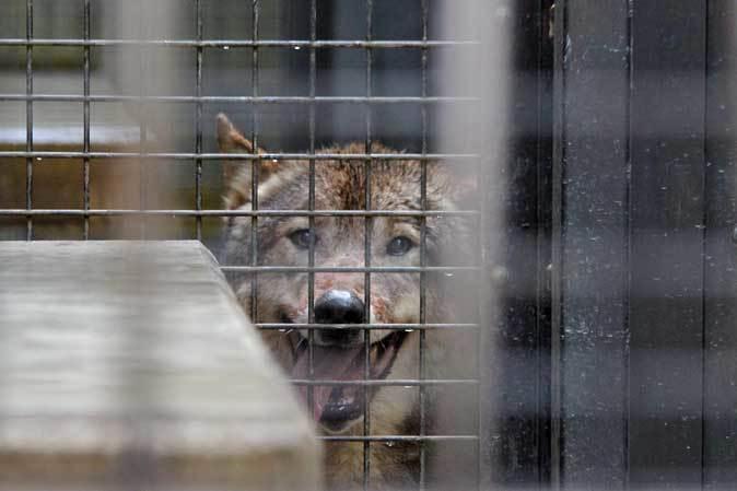 シフゾウ「アオバ」の袋角~バックヤードのオオカミたち(多摩動物公園 March 2019)_b0355317_22212747.jpg