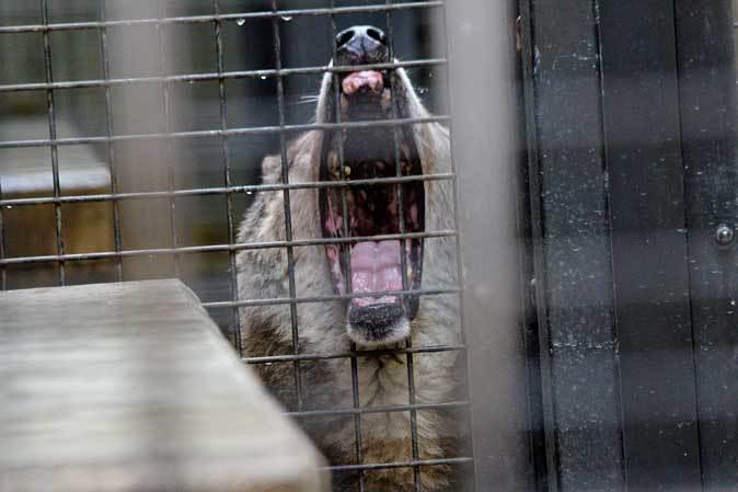 シフゾウ「アオバ」の袋角~バックヤードのオオカミたち(多摩動物公園 March 2019)_b0355317_22214976.jpg
