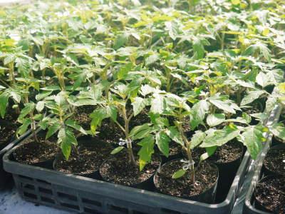 樹上完熟の朝採りトマト 令和2年度の栽培に向け土つくり始めました!今年はキュウリと2本立てです!!_a0254656_17574107.jpg