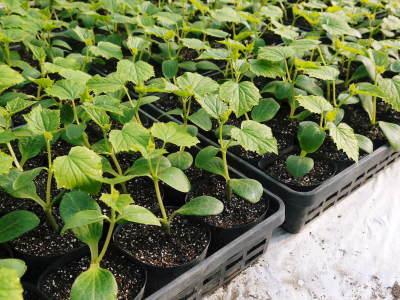 樹上完熟の朝採りトマト 令和2年度の栽培に向け土つくり始めました!今年はキュウリと2本立てです!!_a0254656_17582822.jpg