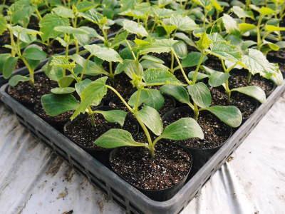 樹上完熟の朝採りトマト 令和2年度の栽培に向け土つくり始めました!今年はキュウリと2本立てです!!_a0254656_18002795.jpg