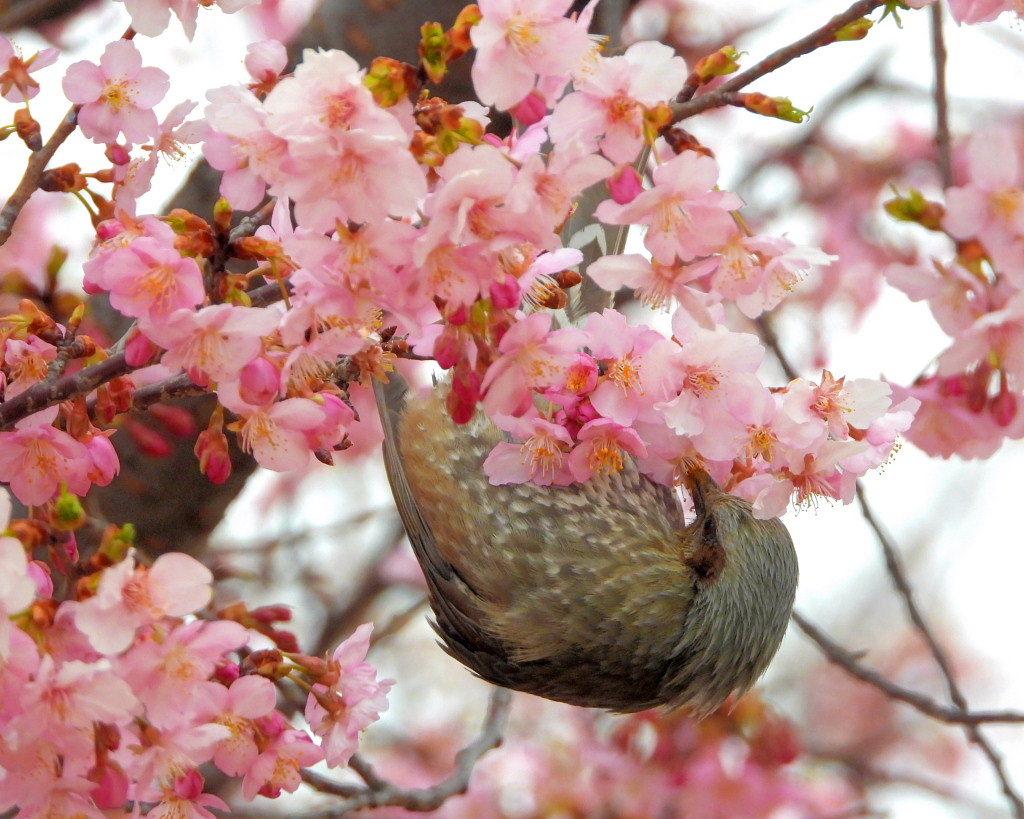 サクラヒヨとサクラワンちゃん_c0305565_17405607.jpg