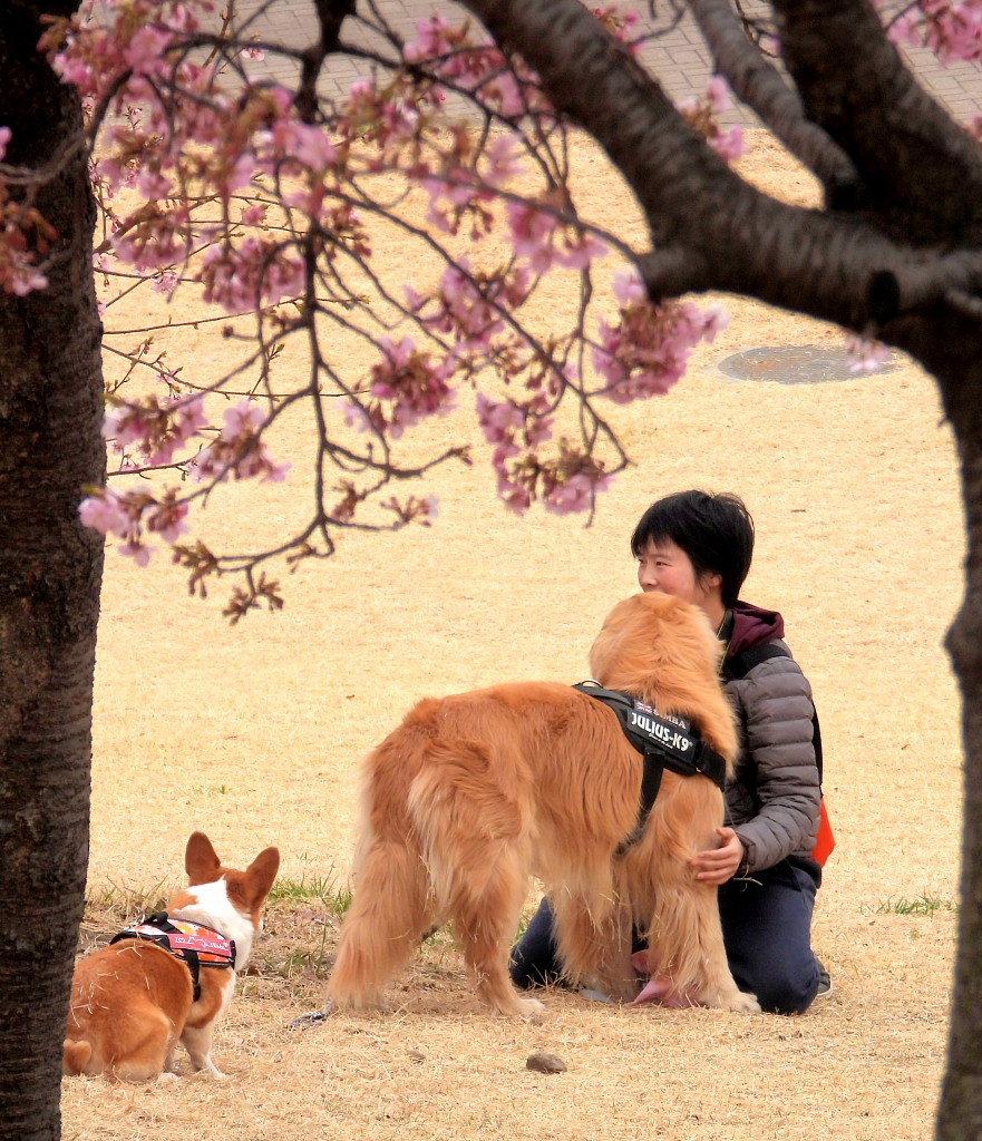 サクラヒヨとサクラワンちゃん_c0305565_17431381.jpg