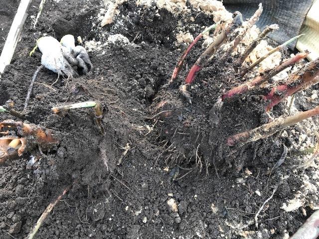 3種類のサトイモの種芋植え付け2・25_c0014967_12375871.jpg