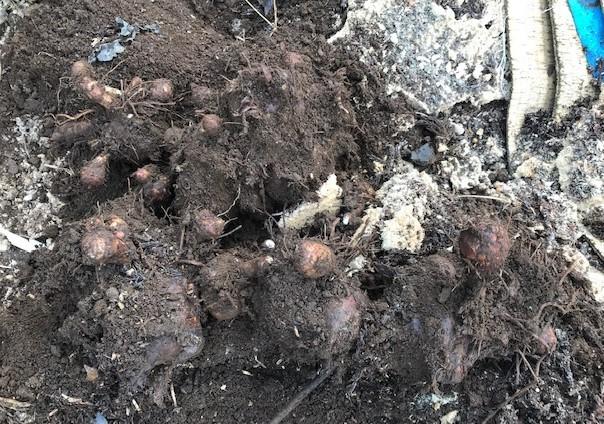 3種類のサトイモの種芋植え付け2・25_c0014967_12381729.jpg