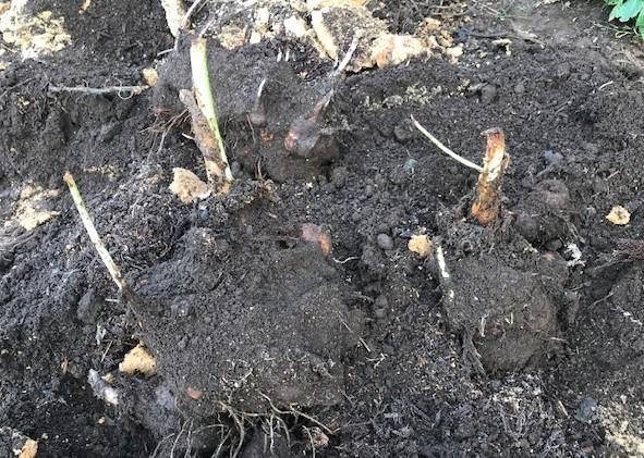 3種類のサトイモの種芋植え付け2・25_c0014967_12383443.jpg