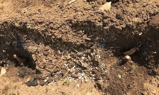 3種類のサトイモの種芋植え付け2・25_c0014967_12390822.jpg