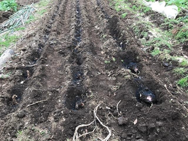 3種類のサトイモの種芋植え付け2・25_c0014967_12394166.jpg