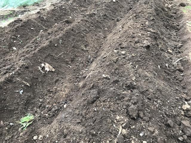 3種類のサトイモの種芋植え付け2・25_c0014967_12410487.jpg