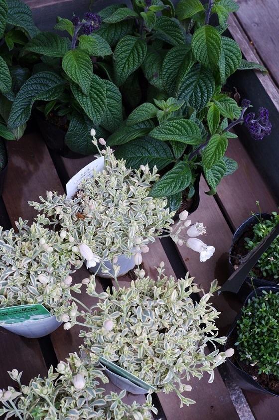 オークリーフ(紫色の花たち)_f0049672_18371178.jpg
