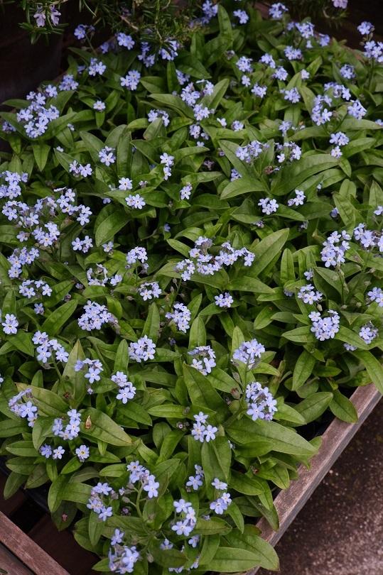 オークリーフ(紫色の花たち)_f0049672_18372656.jpg