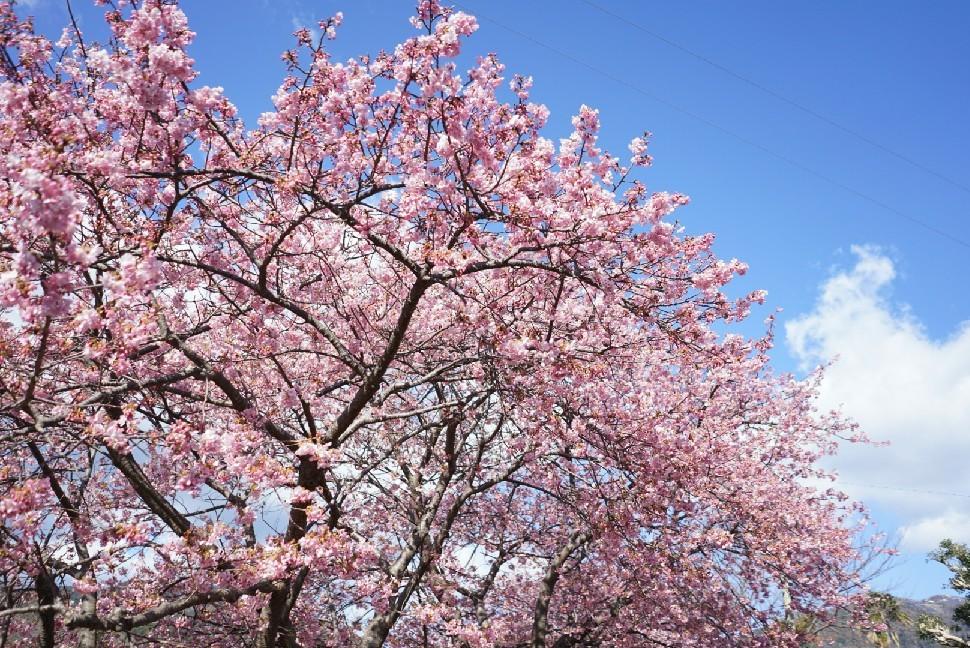 春の伊豆へ・河津桜祭り_c0226331_13093691.jpg