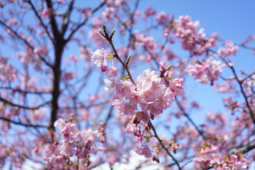 春の伊豆へ・河津桜祭り_c0226331_13113964.jpg
