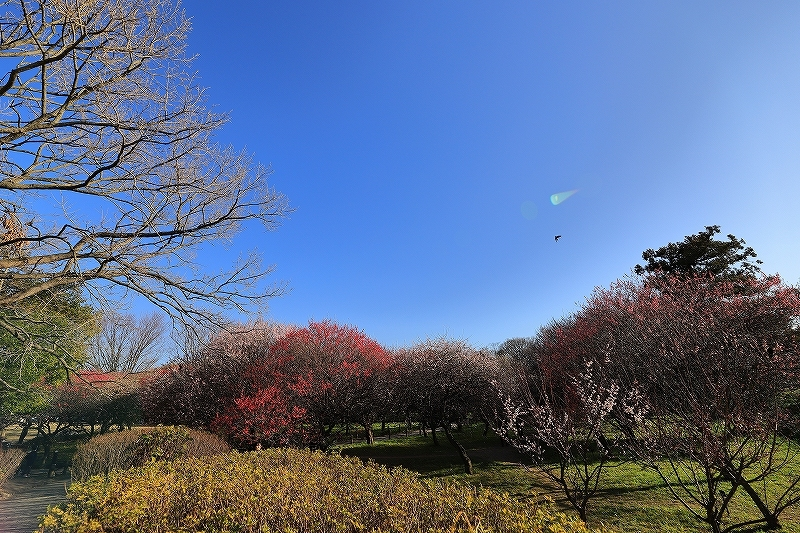 【越谷梅林公園】【大宮第二公園梅林】_f0348831_12000191.jpg