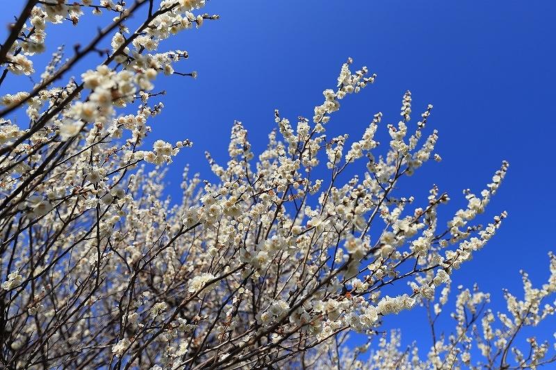 【越谷梅林公園】【大宮第二公園梅林】_f0348831_12001377.jpg
