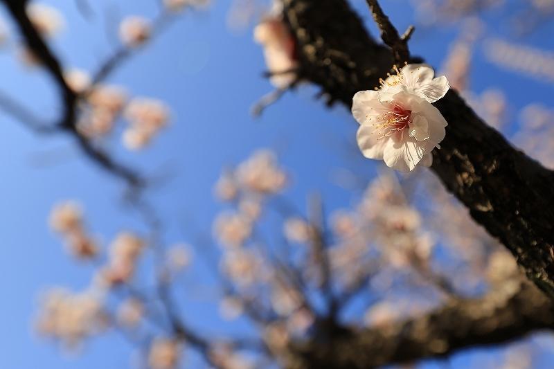 【越谷梅林公園】【大宮第二公園梅林】_f0348831_12001608.jpg