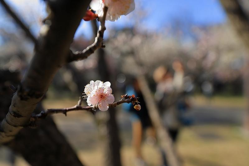 【越谷梅林公園】【大宮第二公園梅林】_f0348831_12001816.jpg