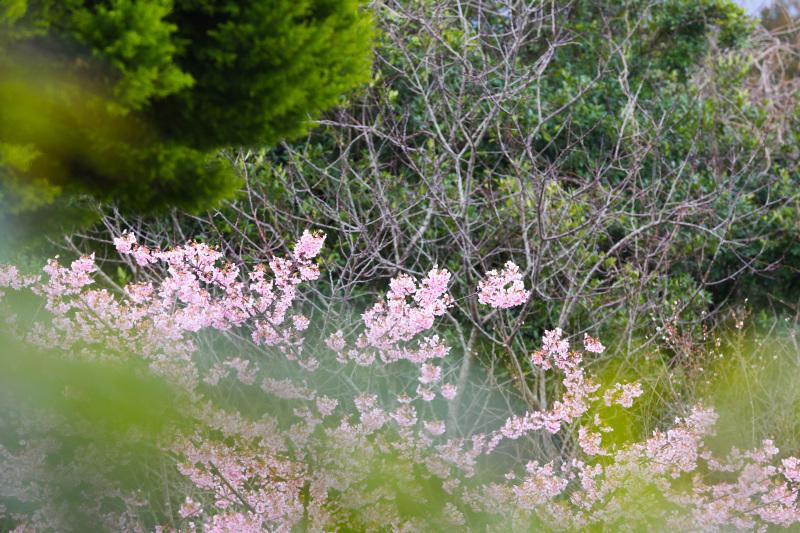 桜のシナモンロール_d0034447_18074421.jpeg