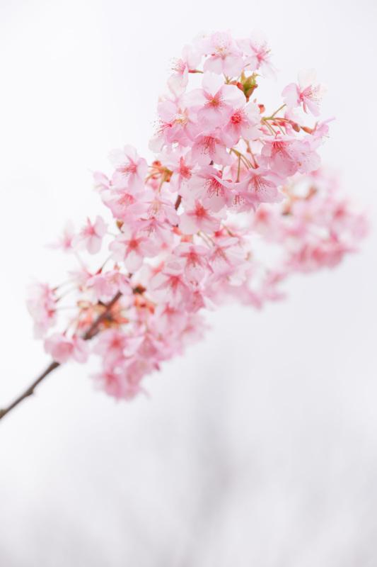 桜のシナモンロール_d0034447_18120131.jpeg