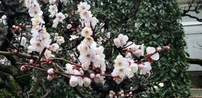 梅は咲いたか~桜はまだかいな_a0132151_15502490.jpg