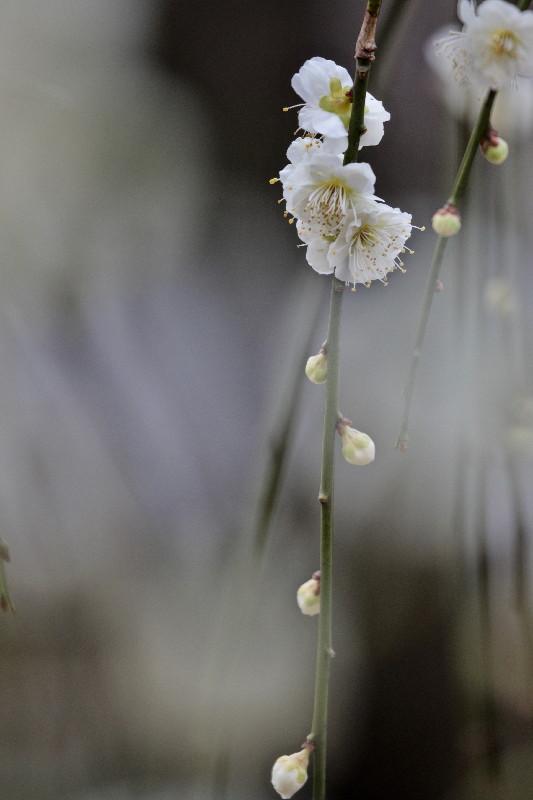 梅の花_e0071967_14283823.jpg