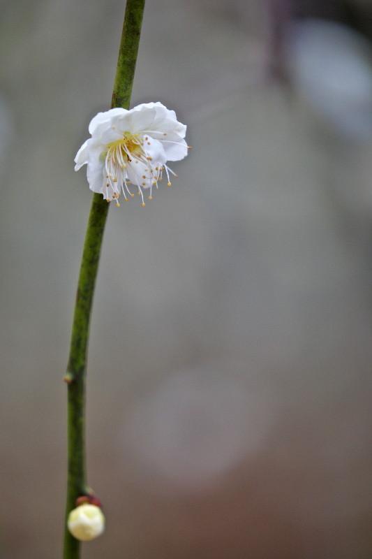 梅の花_e0071967_14284032.jpg