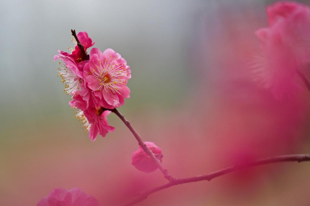 梅の花_e0071967_14284336.jpg